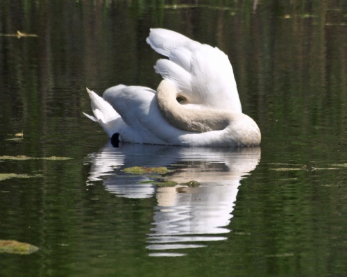 Swan P5073979_edited-1