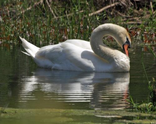 Swan P5073985_edited-1