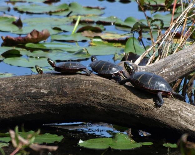 Turtles at Innisfree Garden, listening to music on the listening list
