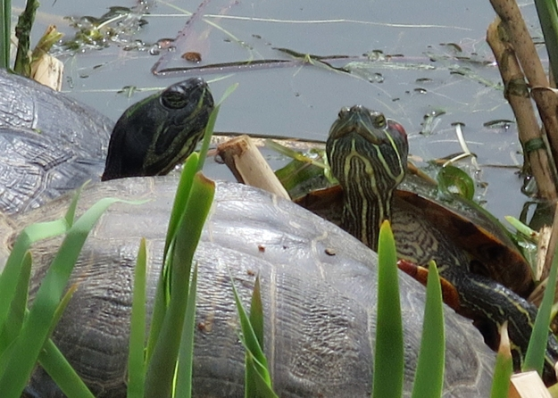 Turtles 2 IMG_0173_edited-2