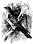 Cuckoo, from The Nursery, Volume 17, No. 101, May, 1875